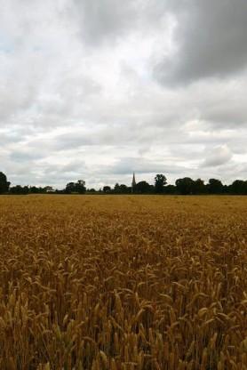 Corn Fields by Below Masham
