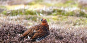Masham-Grouse-by-Mike-Bentley