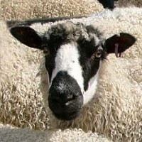 Masham Sheep - Feature Image