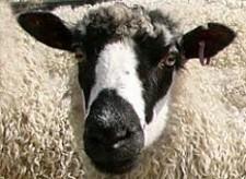 Masham Sheep - Feature Image