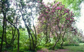 Rhododendrons at Swinton