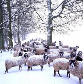 Snowy Sheep by Gary Keat